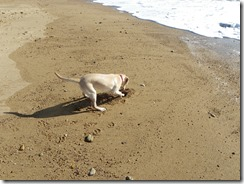 Lou Lou digging holes in the sand